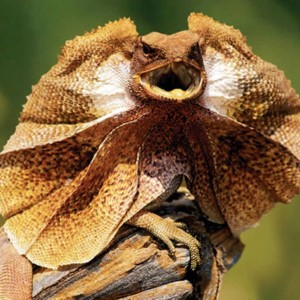 frilled-lizard