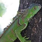 Iguana – El Salvador