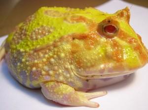 Albino-Pacman-Frog
