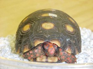 Cherry_Head_Tortoise[1]
