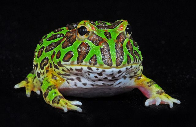 Ornate_Pacman_Frog