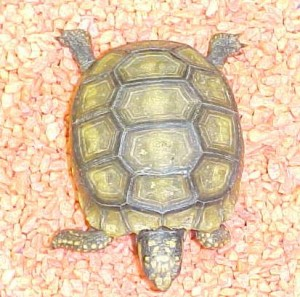 Yellow_Foot_Tortoise_2