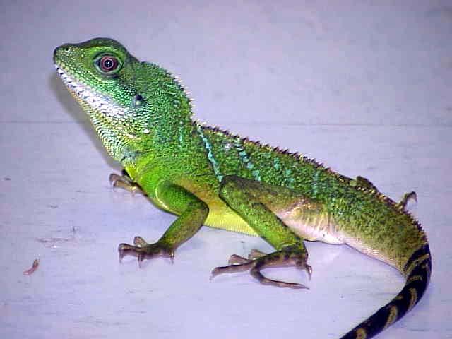 chinese-water-dragon-Physignathus-cocincinus__45322_zoom ...