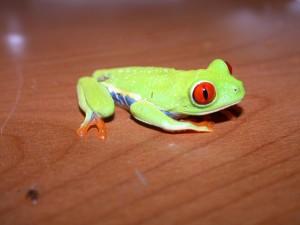 red_eye_tree_frog