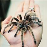 rose-tarantulas