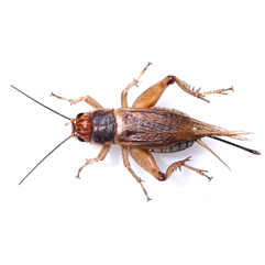1000 count Crickets – Shipping Included
