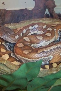 blood python in bowl