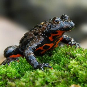 healthy-fire-bellied-toad