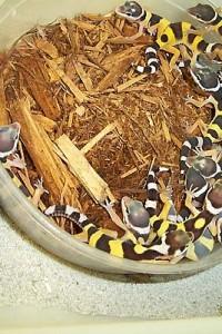leopard gecko-babies