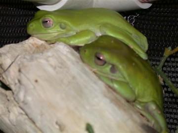 whites_tree_frog2